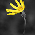 Yellow Wildflower by Shane Bechler