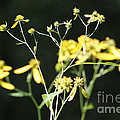 Yellow Wildflowers by Wendy Gertz