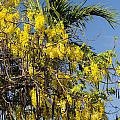 Yellow Wisteria Blooms by Bob Phillips