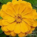 Yellow Zinnia by Joshua Bales