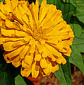 Yellow Zinnia by Judy Vincent