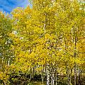 Yellows Of Fall by Baywest Imaging