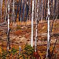 Yellowstone Aspens by Indigo Wild Photography