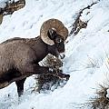 Yellowstone Bighorn by Michael Chatt