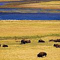 Yellowstone Bison Herd by Indigo Wild Photography