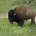 Yellowstone Bison by Laurel Powell