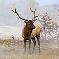 Yellowstone Bull Elk by Ed  Riche