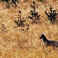 Yellowstone Coyote by Indigo Wild Photography