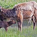 Yellowstone Elk Cow And Calf by Natural Focal Point Photography
