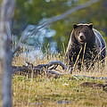 Yellowstone Grizzly Coming Over Hill by Greig Huggins