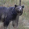 Yellowstone Grizzly by Deanna Cagle
