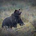 Yellowstone Grizzly On The Lookout by Greig Huggins
