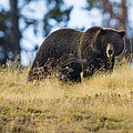 Yellowstone Grizzly Showing Teeth by Greig Huggins