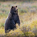 Yellowstone Grizzly Standing - 1 by Greig Huggins
