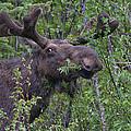 Yellowstone Munching Moose by Martin Belan