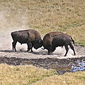 Yellowstone Turf War by Wes and Dotty Weber