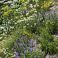 Yellowstone Wildflowers by Carolyn Fox