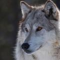 Yellowstone Wolf by Diana Marcoux