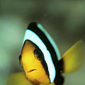 Yellowtail Anemonefish by Matthew Oldfield/science Photo Library
