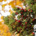 Taxus Baccata Or Yew Red Fruits On Twig  by Arletta Cwalina