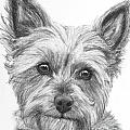 Yorkie Drawing by Kate Sumners