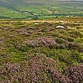 Yorkshire Moors Heather by John Topman