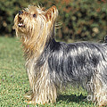 Yorkshire Terrier Dog by M. Watson
