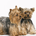 Yorkshire Terrier Dogs by Jean-Michel Labat