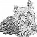 Yorkshire Terrier Drawing by Catherine Roberts