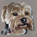 Yorkshire Terrier- Drawing by Daliana Pacuraru
