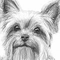 Yorkshire Terrier Drawing by Kate Sumners