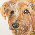 Yorkshire Terrier Face by Kate Sumners