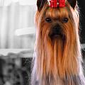 Yorkshire Terrier by Jai Johnson