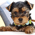 Yorkshire Terrier Puppy by Marvin Blaine