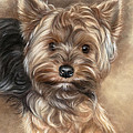 Yorkshire Terrier by Tobiasz Stefaniak