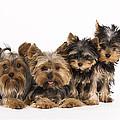 Yorkshire Terriers by Jean-Michel Labat