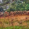 Yorktown Onion Field by Jerry Gammon