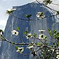 Yosemite Dogwood And Half Dome by Jeff Lowe