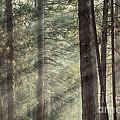 Yosemite Pines In Sunlight by Jane Rix