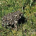 Yosemite Toad Bufo Canorus by Anthony Mercieca