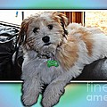 Yoshi Havanese Puppy by Barbara Griffin