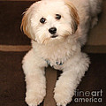 Yoshi Is One Today - Havanese Puppy by Barbara Griffin