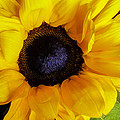 You Are My Sunshine by Hal Halli