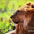 Young Adult Male Lion On Savanna. Safari In Serengeti by Michal Bednarek