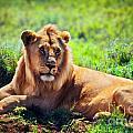 Young Adult Male Lion On Savanna. Safari In Serengeti. Tanzania by Michal Bednarek