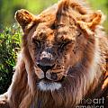 Young Adult Male Lion Portrait. Safari In Serengeti by Michal Bednarek