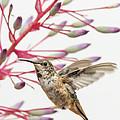 Young Allen's Hummingbird by Mike Herdering