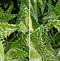 Young Aloe In Stereo by Duane McCullough