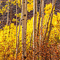 Young And Old Aspens by Jerry Ross