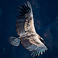 Young Andean Condor by Kent Nancollas